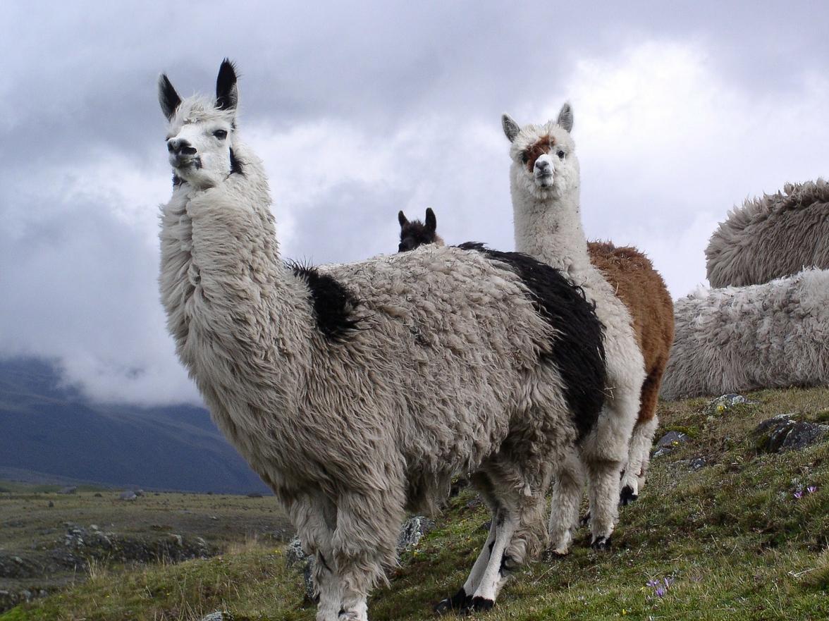 Cajas National Park Wildlife, Ecuador