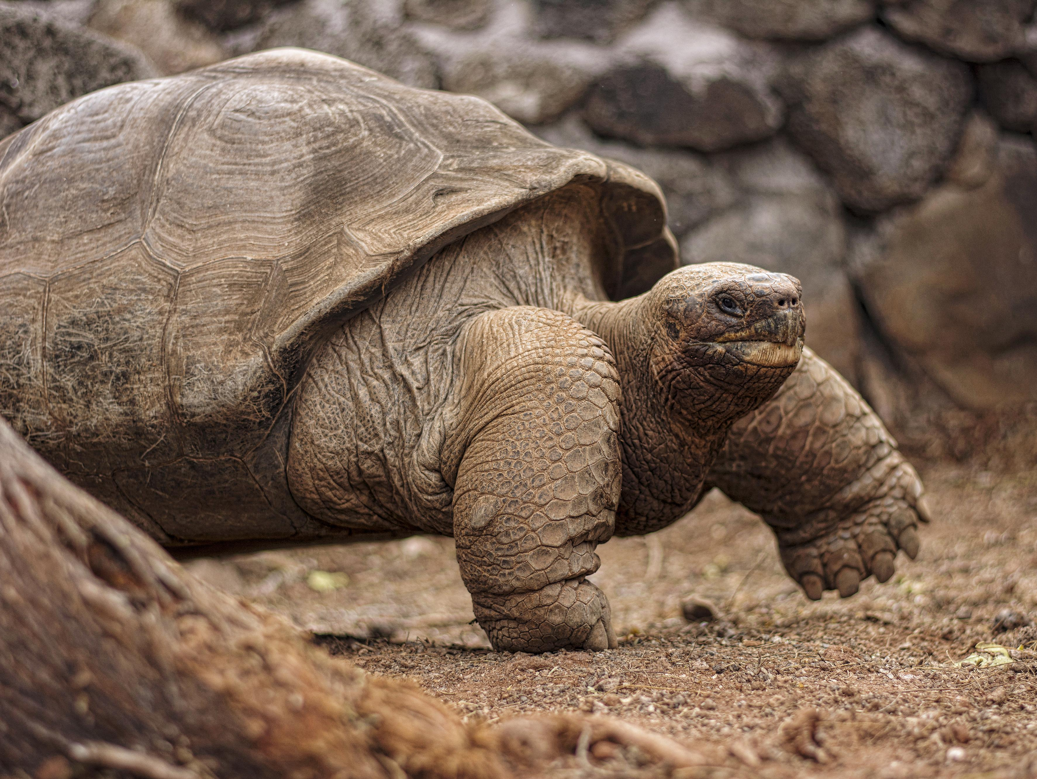 Giant Tortoise - Endangered Species in the Galapagos