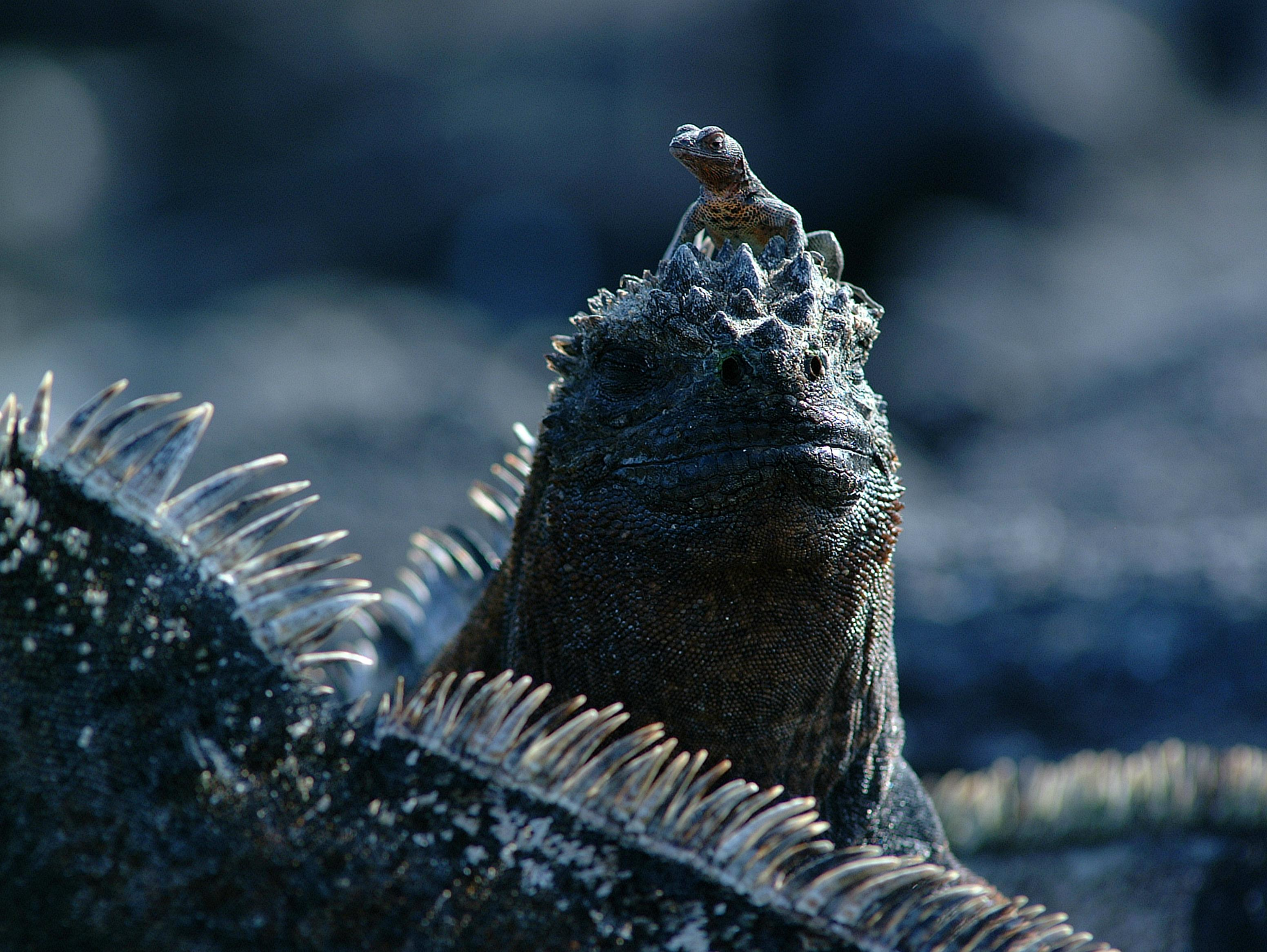 Marine Iguana - Endangered Species in the Galapagos