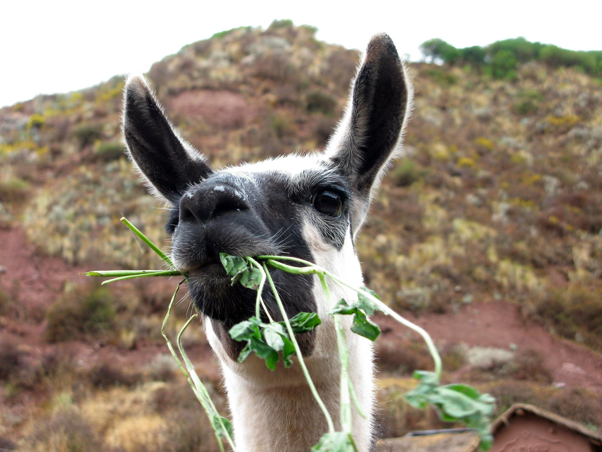 Llama | Sacred Valley with Kids