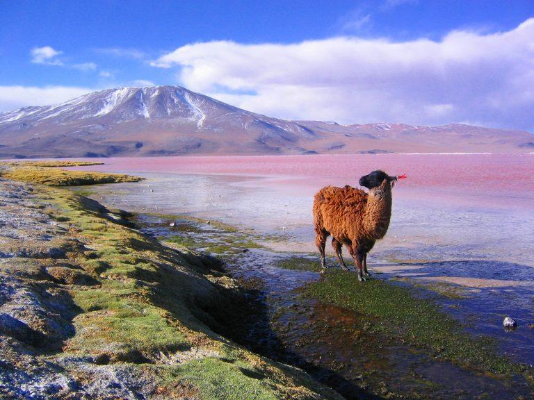 Llama | Bolivia Wildlife Blog