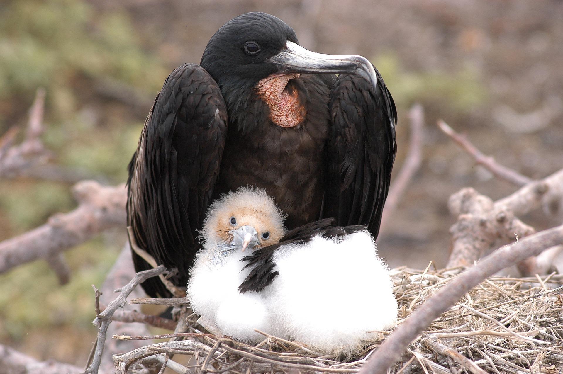 Frigate Bird in the Galapagos | Galapagos Wildlife Calendar