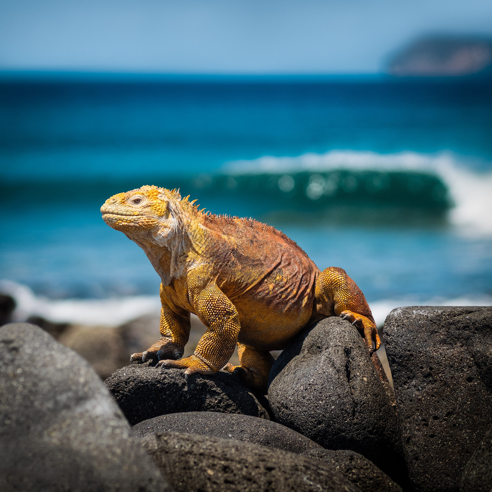 Land Iguana in the Galapagos | Galapagos Wildlife Calendar