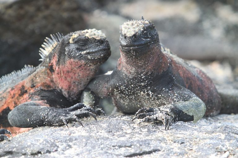 Marine Iguanas | Discover Your South America Blog