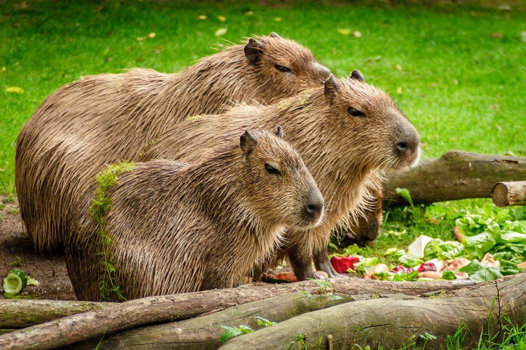 Capybara   Discover Your South America Blog