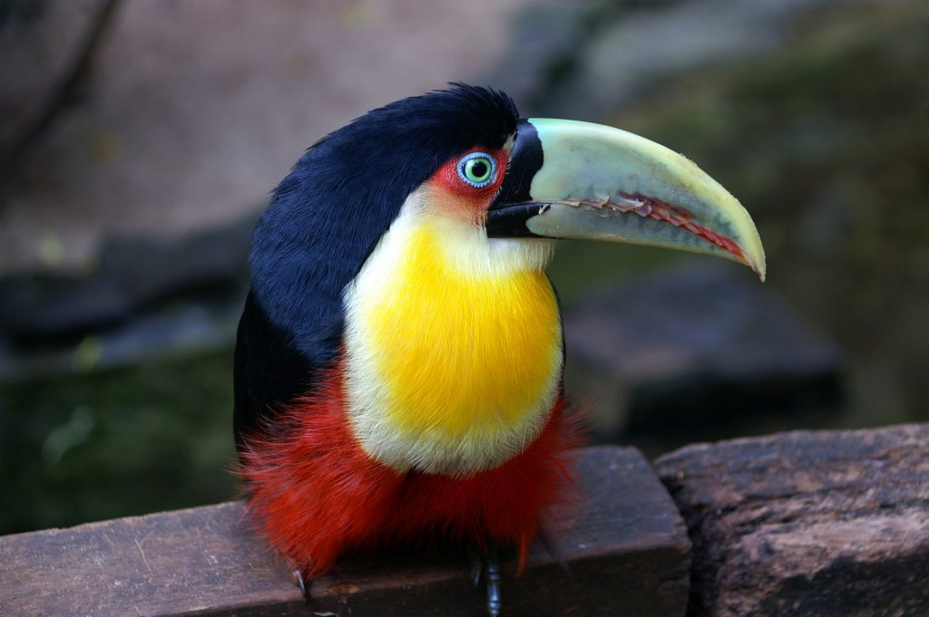 Toucan   Discover Your South America Blog