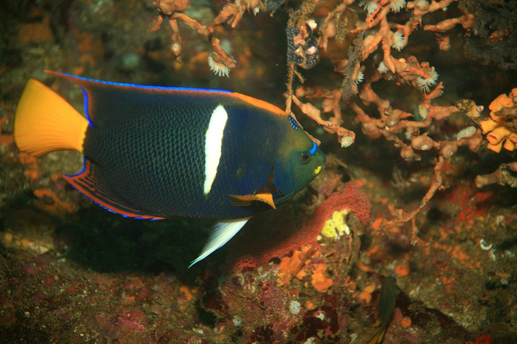 King Angelfish, Galapagos | Discover Your South America Blog
