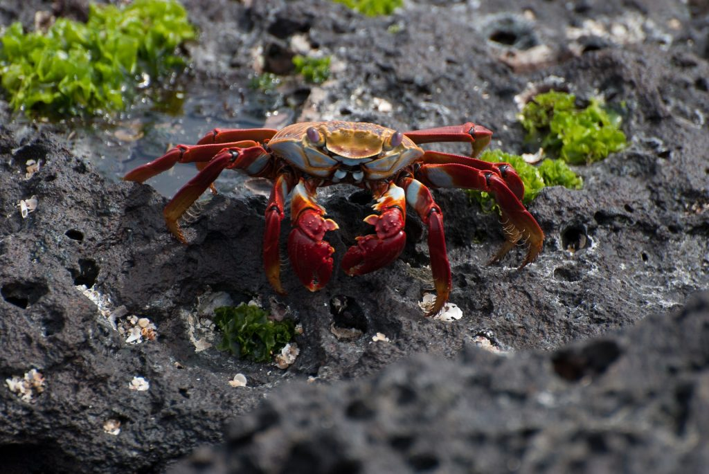 Sally Lightfoot Crab, Galapagos | Discover Your South America Blog
