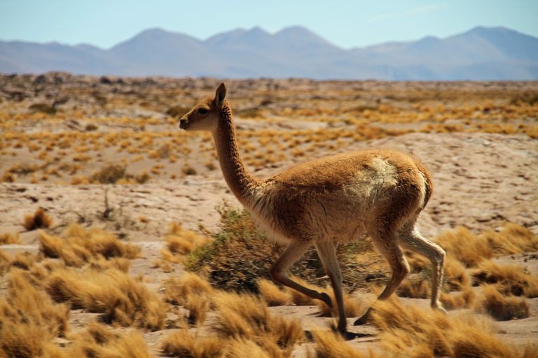 Atacama Desert wildlife | Discover Your South America Blog