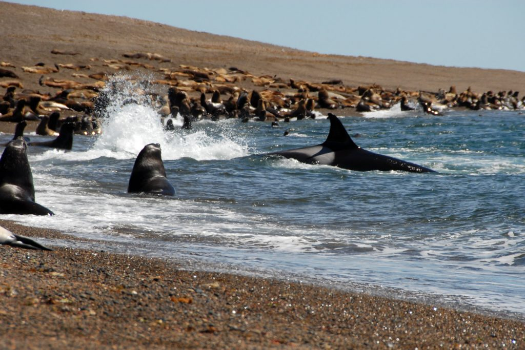 Orca hunting in Valdes | Discover Your South America Blog